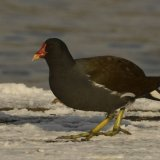 Bird - Moorhen (Gallinula Chloropus) - By the Loch