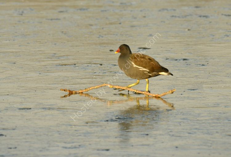 Bird - Moorhen (Gallinula Chloropus) - Ice Hurdle