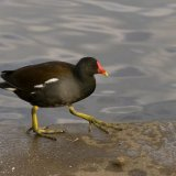 Bird - Moorhen (Gallinula Chloropus) - The Moorhen March