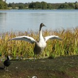 Bird - Mute Swan (Cygnus olor) - Aerobics at Frensham Great Pond, Surrey