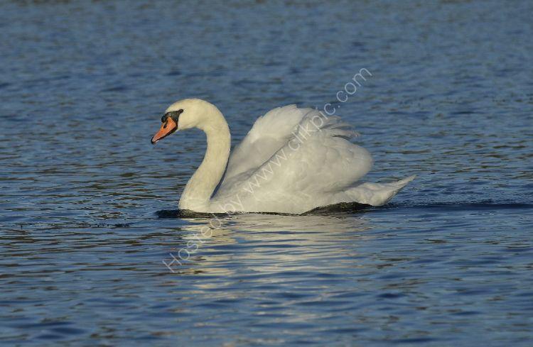 Bird - Mute Swan (Cygnus olor) - In Classic Pose