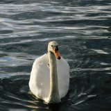 Bird - Mute Swan (Cygnus olor) - In Crichie Pond