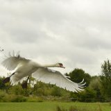 Bird - Mute Swan (Cygnus olor) - Low Flying Display