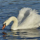 Bird - Mute Swan (Cygnus olor) - On the Loch