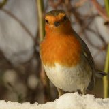 Bird - Robin (Erithacus rubecula) -  Checking to see if the food is ready