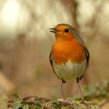 Bird - Robin (Erithacus rubecula) - Going Cheep