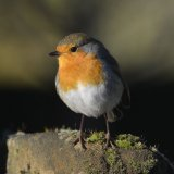 Bird - Robin (Erithacus rubecula) - Heavenly Appearance