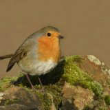 Bird - Robin (Erithacus rubecula) - Redbreast on the Rock
