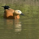 Bird - Ruddy Shelduck (Tadorna Ferruginea)