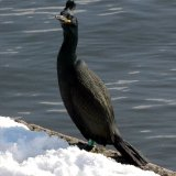 Bird - Shag (Phalacrocorax aristotelis)