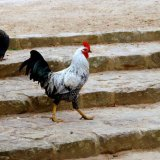 Bird - Silver Laced Wyandotte Cockerel (Gallus gallus) - Why did the Chicken cross the road...