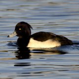 Bird - Tufted Duck (Aythya fuligula)