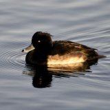 Bird - Tufted Duck (Aythya fuligula) At Linlithgow Loch