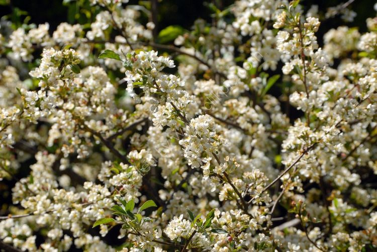 Bush - Apple (Malus Sylvestris, syn. M. pumila. Rosaceae)