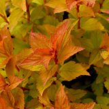 Bush - Goldflame Spirea (Spiraea x bumalda) Leaves