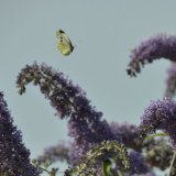 Butterfly - Large White (Cabbage) Butterfly (Pieris rapae) Butterfly in Flutterby Mode