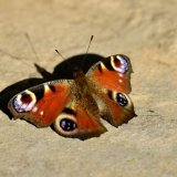 Butterfly - European Peacock Butterfly (Aglais io) Sunbathing