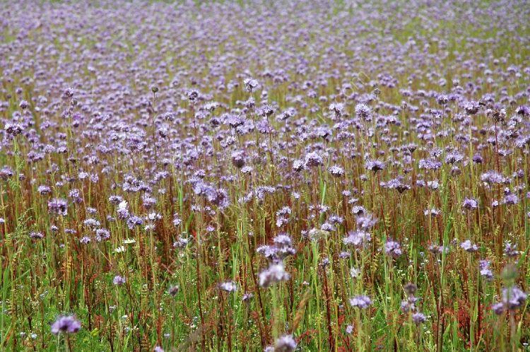 Crop - Field of Flax or Linseed (Linum usitatissimum)