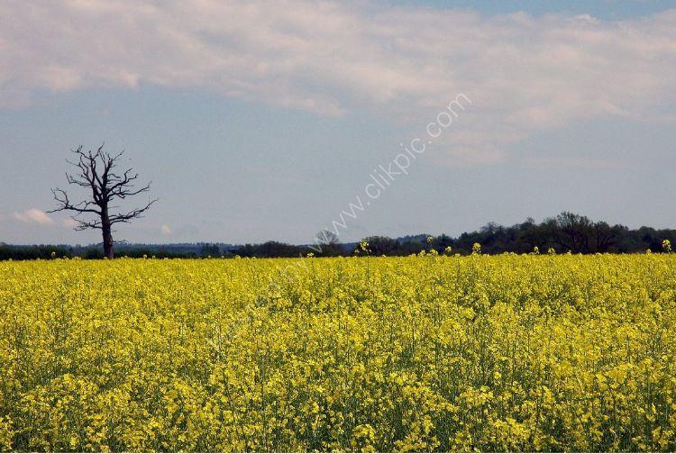ENGLAND - Dead Tree amid the Rape Seed Oil field near Elstead, Surrey