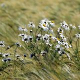Flower - Aster Michaelmass Daisies (Compositae) in the wind