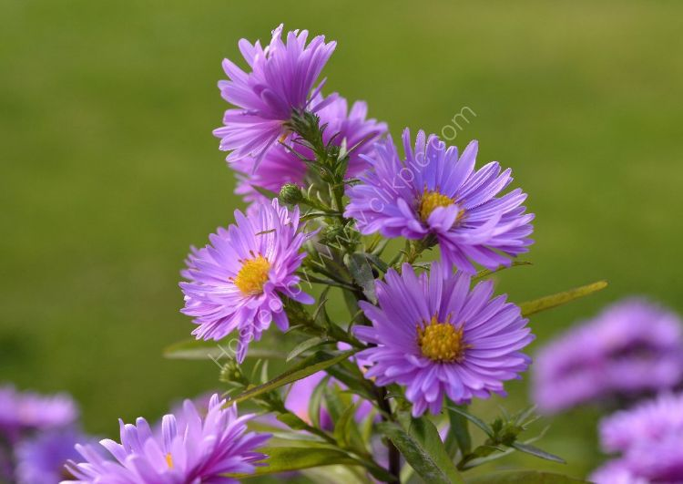 Flower - Aster x frikartii (with green background)