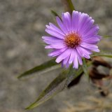 Flower - Aster x frikartii (with grey background)