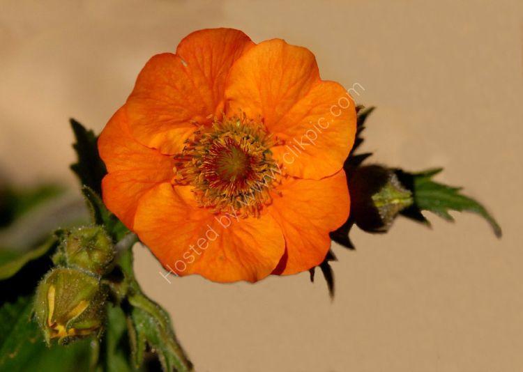 Flower - Avens (Geum Totally Tangerine)
