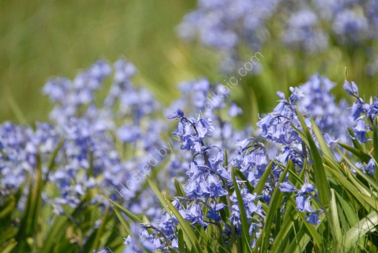 Flower - Bluebell (Hyacinthoides non-scripta) In the Month of May