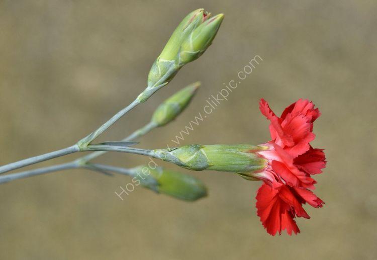 Flower - Carnation (Dianthus Zuni)