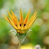 Flower - Crowning Glory