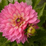 Flower - Dahlia (Compositae)
