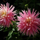 Flower - Dahlia Sweet Secret (Medium semi cactus)