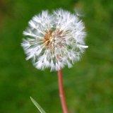 Flower - Dandielion (Taraxacum) - One Puff