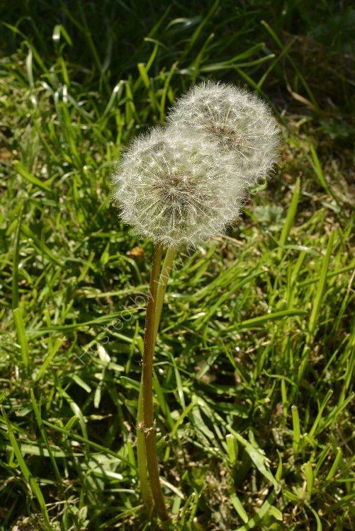 Flower - Dandielion (Taraxacum) - Two Puffs