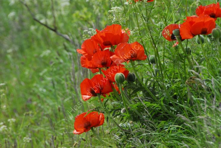 Flower - Field Poppy (Papaver rhoeas).  We will remember them ...