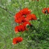Flower - Field Poppy (Papaver rhoeas).  We will remember them ...