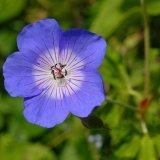 Flower - Forget-me-Not (Myosotis arvensis)
