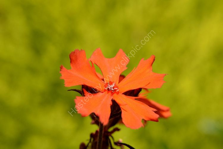 Flower - Lychnic haageana lengai orange