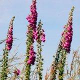 Flower - Mauve Flowers, Blue Sky