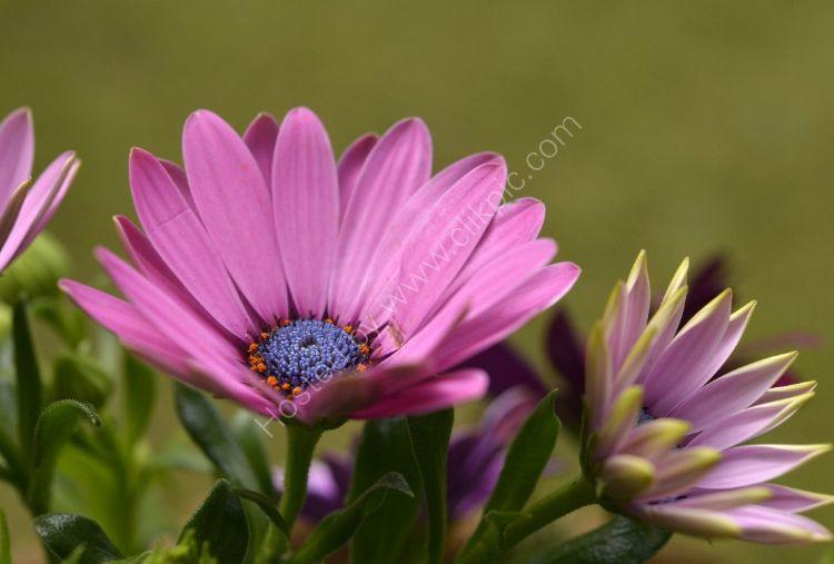 Flower - Osteospermum (Osteospermum barberiae) Opening Out