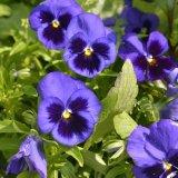 Flower - Pansy (Viola tricolor subsp. hortensis) - Pansies