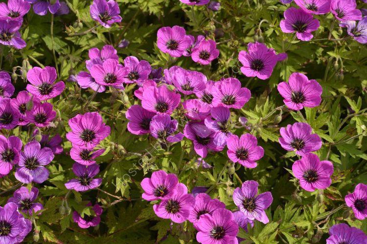 Flower - Pink Flowers (possibly Viola)