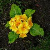 Flower - Primula (Primula hortensis) in Summer