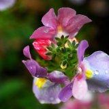 Flower - Red Bud