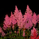Flower - Astilbe (Astilbe arendsii) - Still the Night