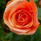 Flower - Rose (Rosa) - Last Rose of Summer
