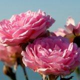 Flower - Rose (Rosa) - Pink Jersey Roses