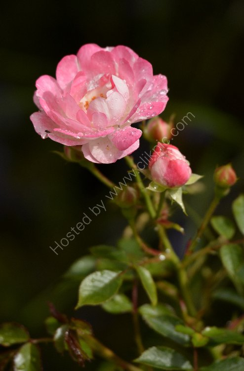 Flower - Rose (Rosa) - Pink and White Minature Rose and Buds