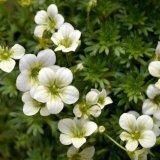 Flower - Saxifraga White Star (Upright)