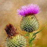 Flower - Spear or Bull Thistle (Cirsium vulgare) Flower of Scotland